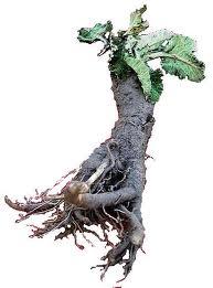 Detox with Burdock Root